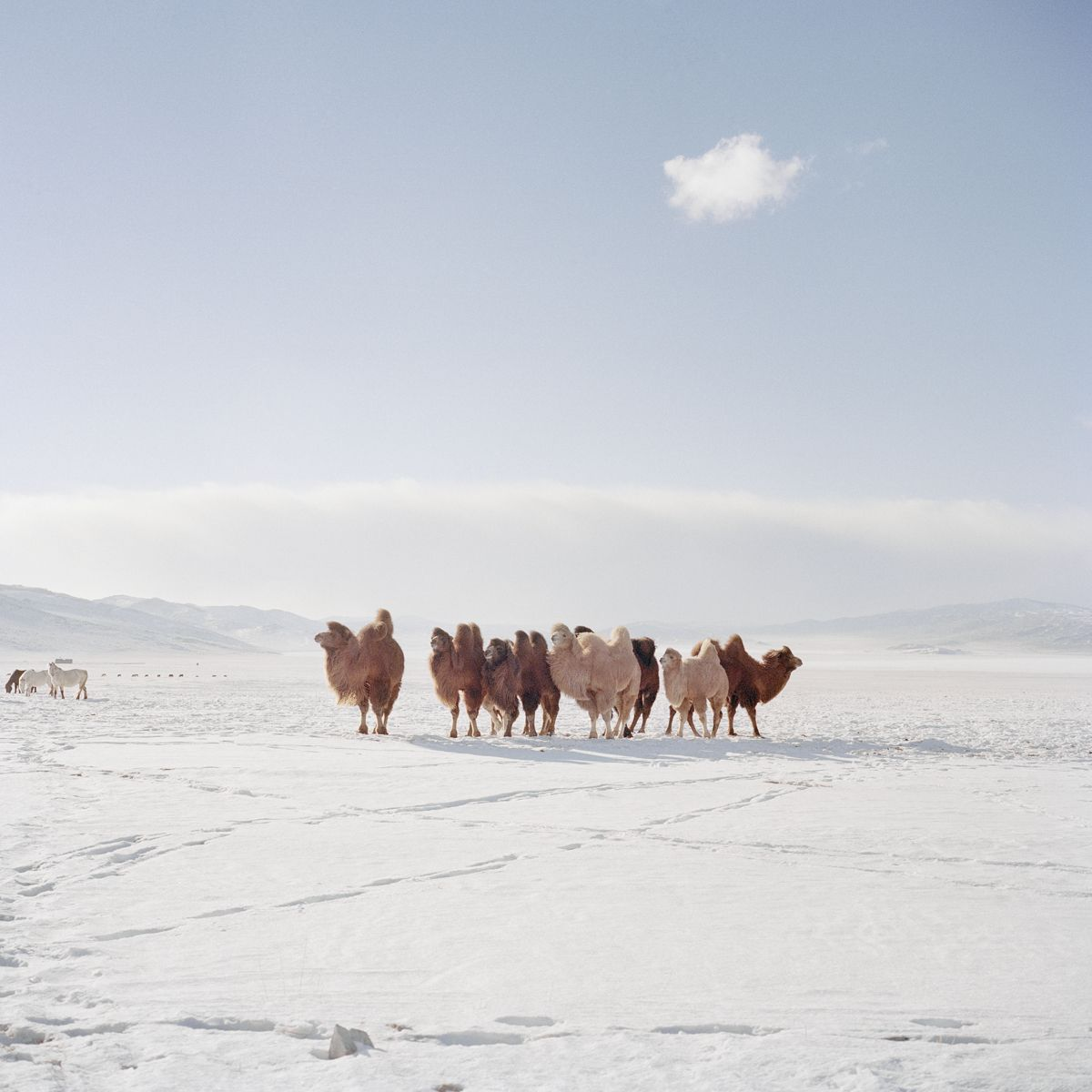Celebrating Mongolia's Beautiful, Brutal Winter Cold | A group of camels grazes in a valley south of Khovsgol lake.  Chiara Goia  | WIRED.com