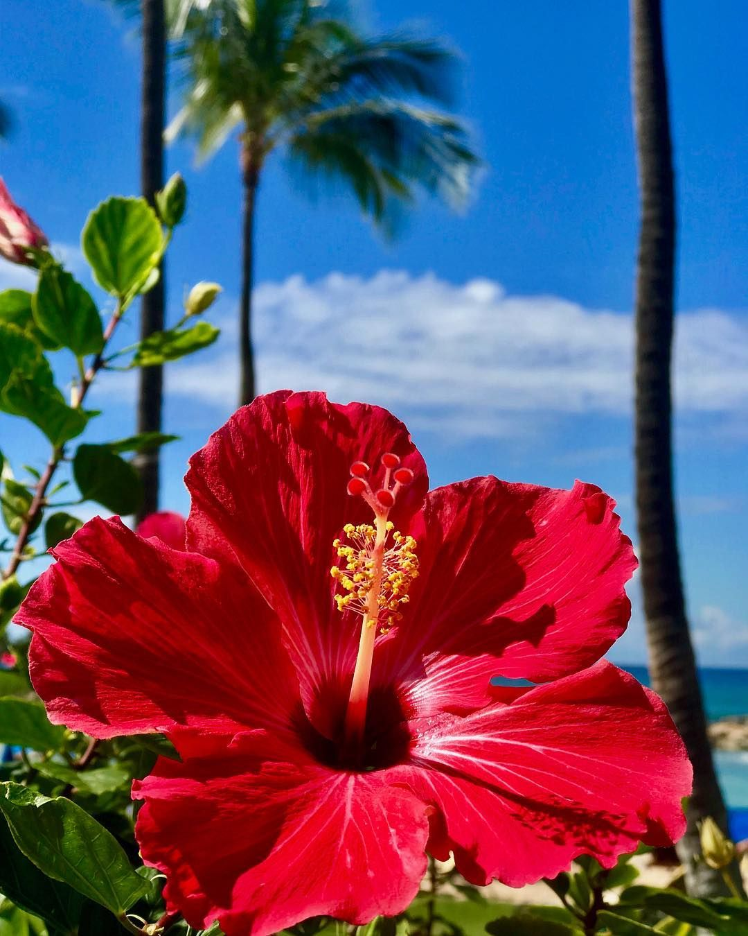 The Official Site Ko Olina Flowers Photography Flower Aesthetic Hibiscus Flower Drawing