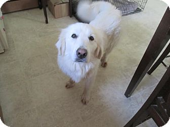 West Warwick, RI - SOUTHPAWS EXPRESS - Great Pyrenees. Meet Elsa - Updates :), a dog for adoption. http://www.adoptapet.com/pet/14989584-west-warwick-rhode-island-great-pyrenees