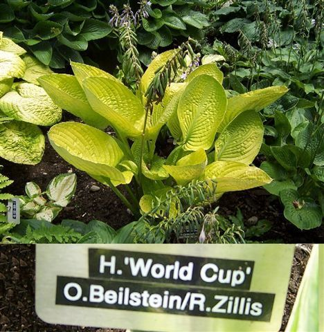 Hosta Photo Library Hosta Varieties Hostas Plants