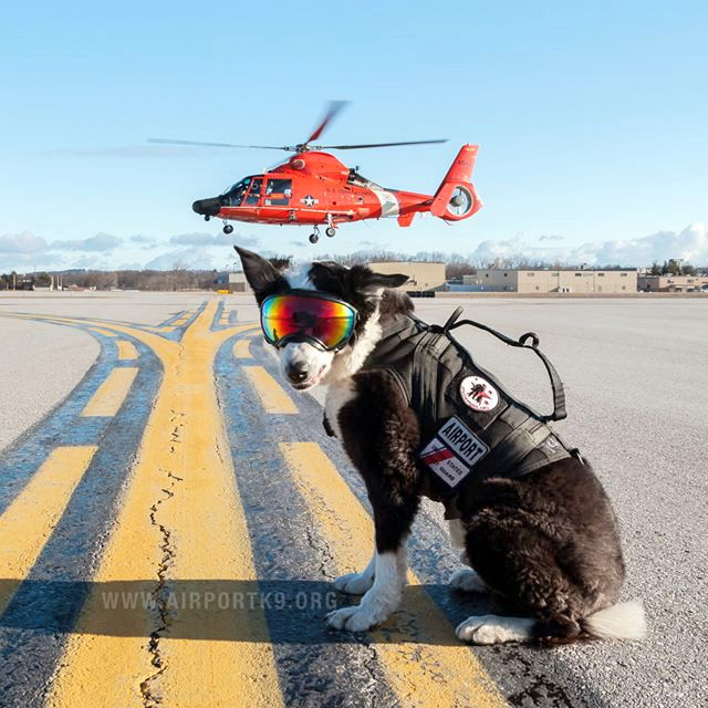 Meet Piper Michigan S Coolest Airport Dog Of All Time Us Coast Guard Traverse City Coast Guard Rescue