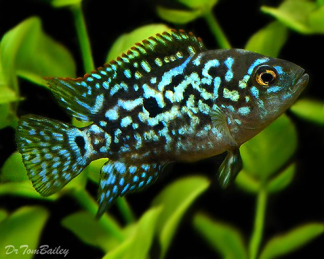 jack dempsey fish | Electric Blue Jack Dempsey Cichlid at ...