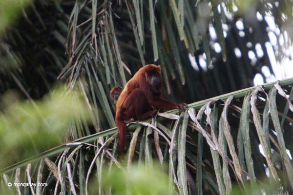 Mono aullador rojo-Fotógrafo: Rhett Butler  Google+ ,   Mongabay.com fotografiado en: Casanare, Colombia