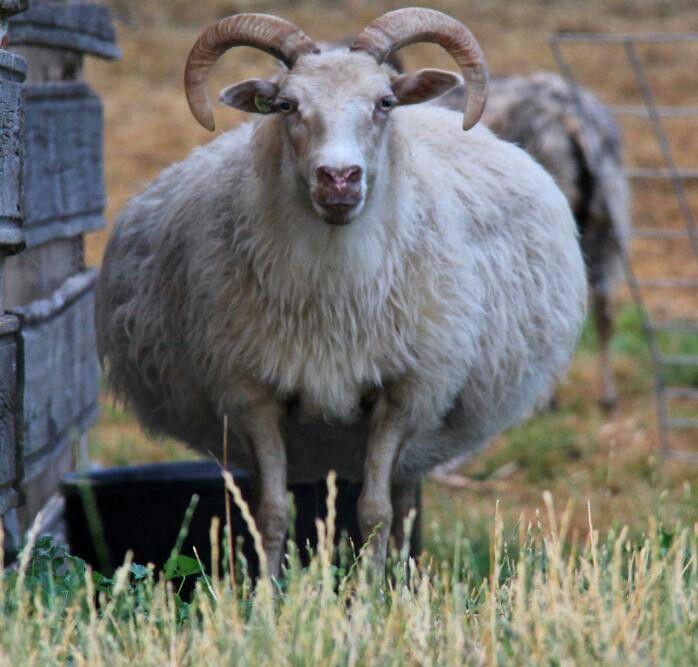 Fat Icelandic Sheep!