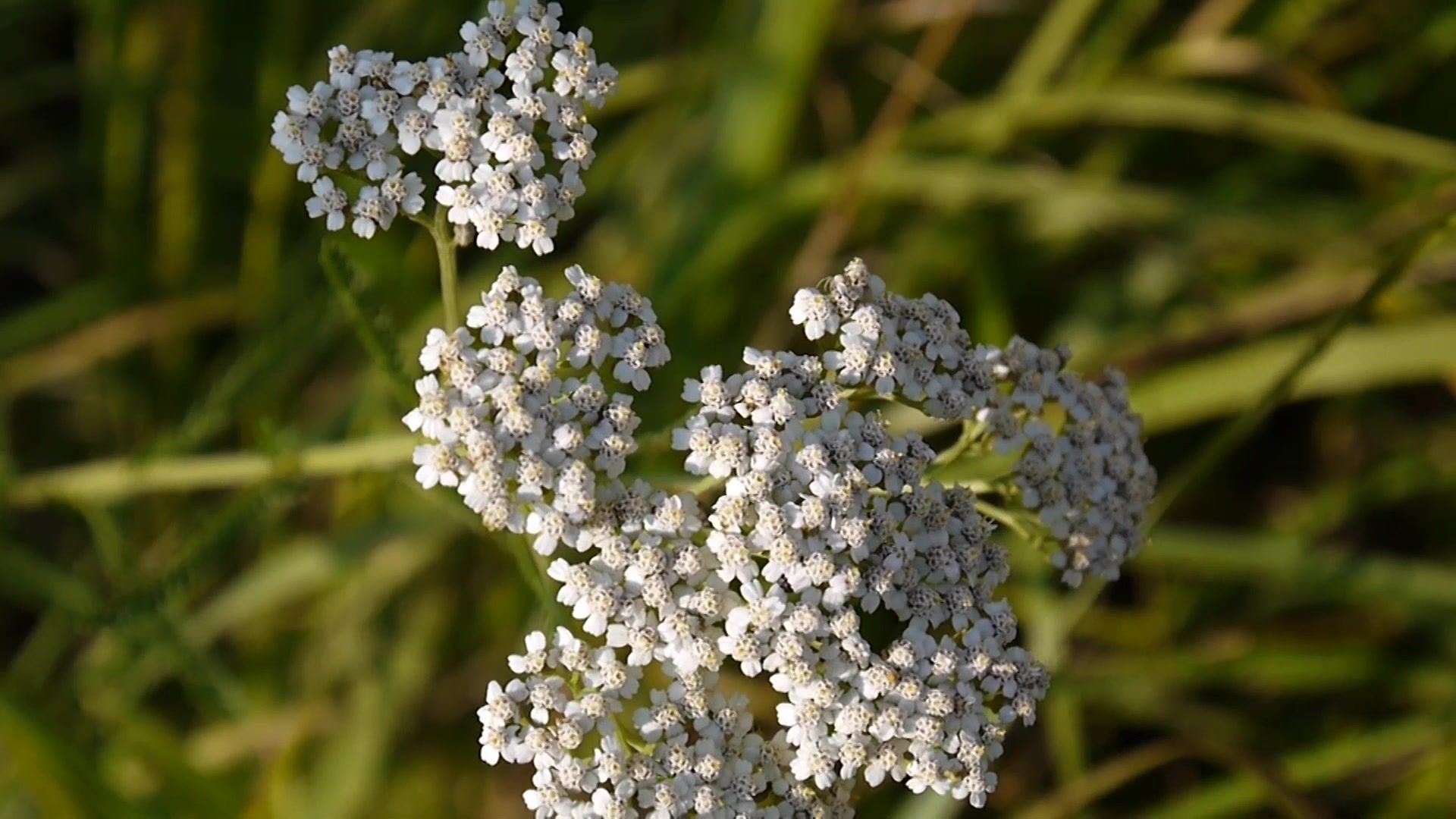 Yarrow Flower Close Up Achillea Millefolium Medical Herb Medicine Plant In Stock Footage Achillea Millefolium C Yarrow Flower Medical Herbs Flower Close Up