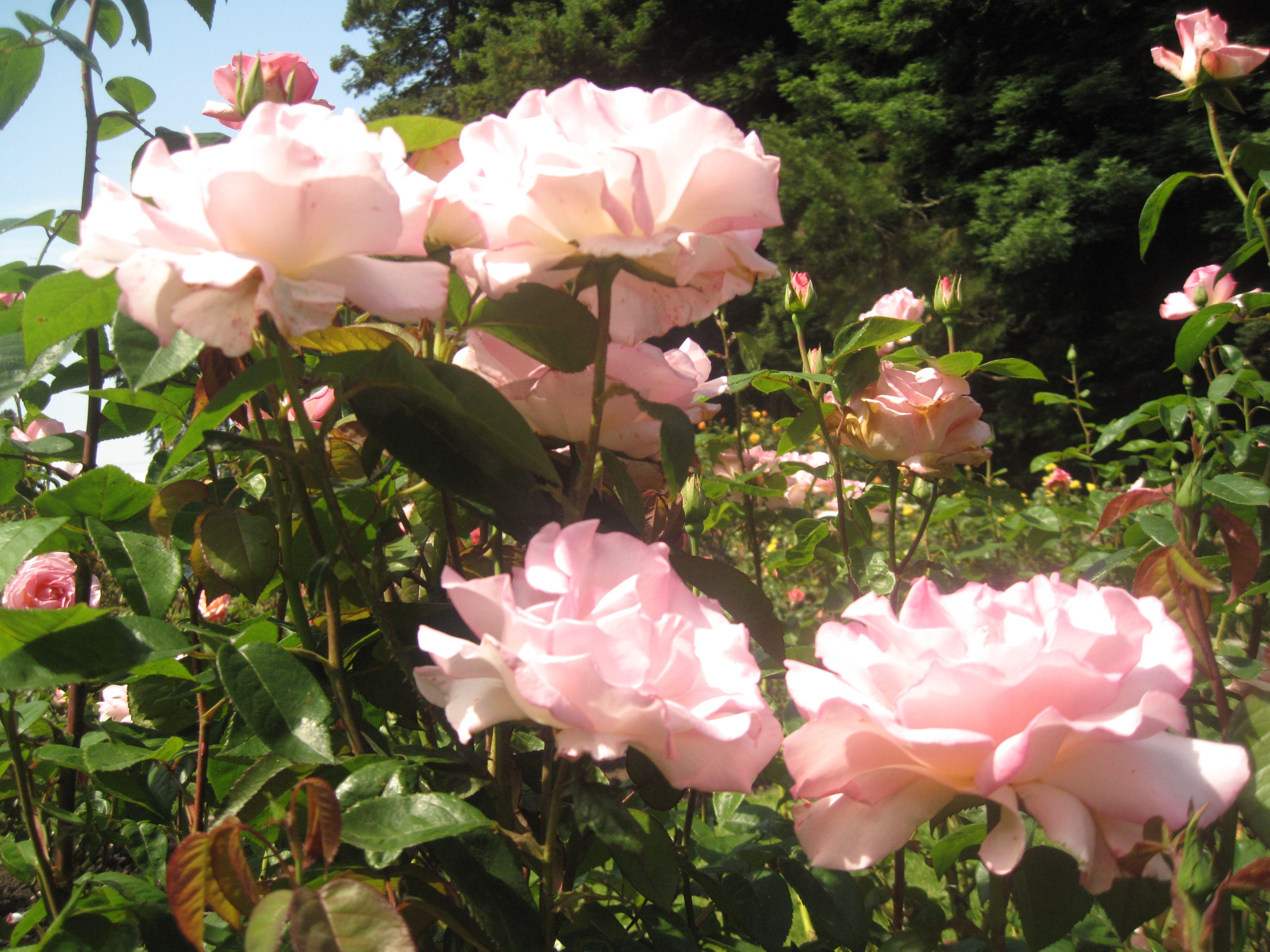 Rose Garden @ Golden Gate Park | Left My Heart in San Francisco ...