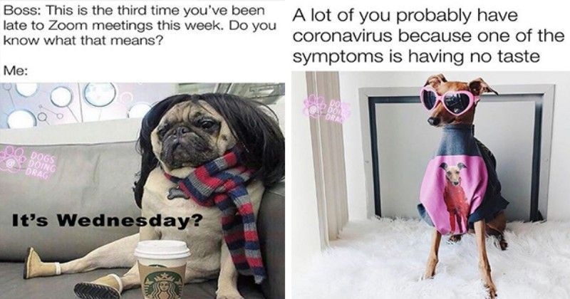 Dogs Doing Drag Is The Hottest Instagram Page Dogs Funny Dogs Dog Memes