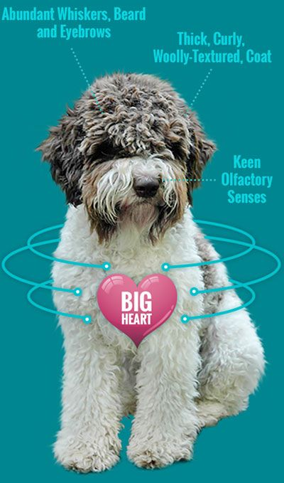 Quality Lagotto Romagnolo Dogs Our Dogs Show While Others Are