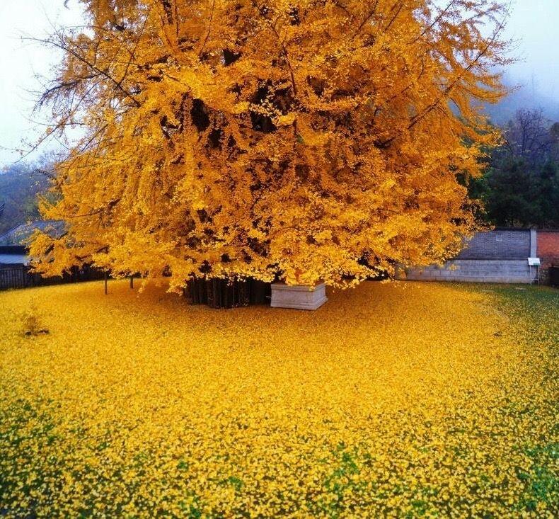 1400 year old Ginkgo Tree. Ginkgo tree, Ginko tree