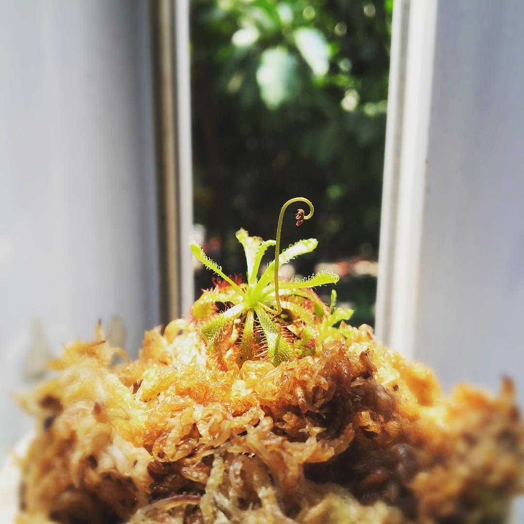 #茅膏菜#食虫植物#drosera#peltata#sundew#droserapeltata by lpbsb