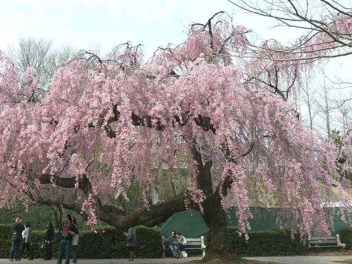 Ornamental Trees Ornamental Trees Shade Trees Weeping Cherry Tree