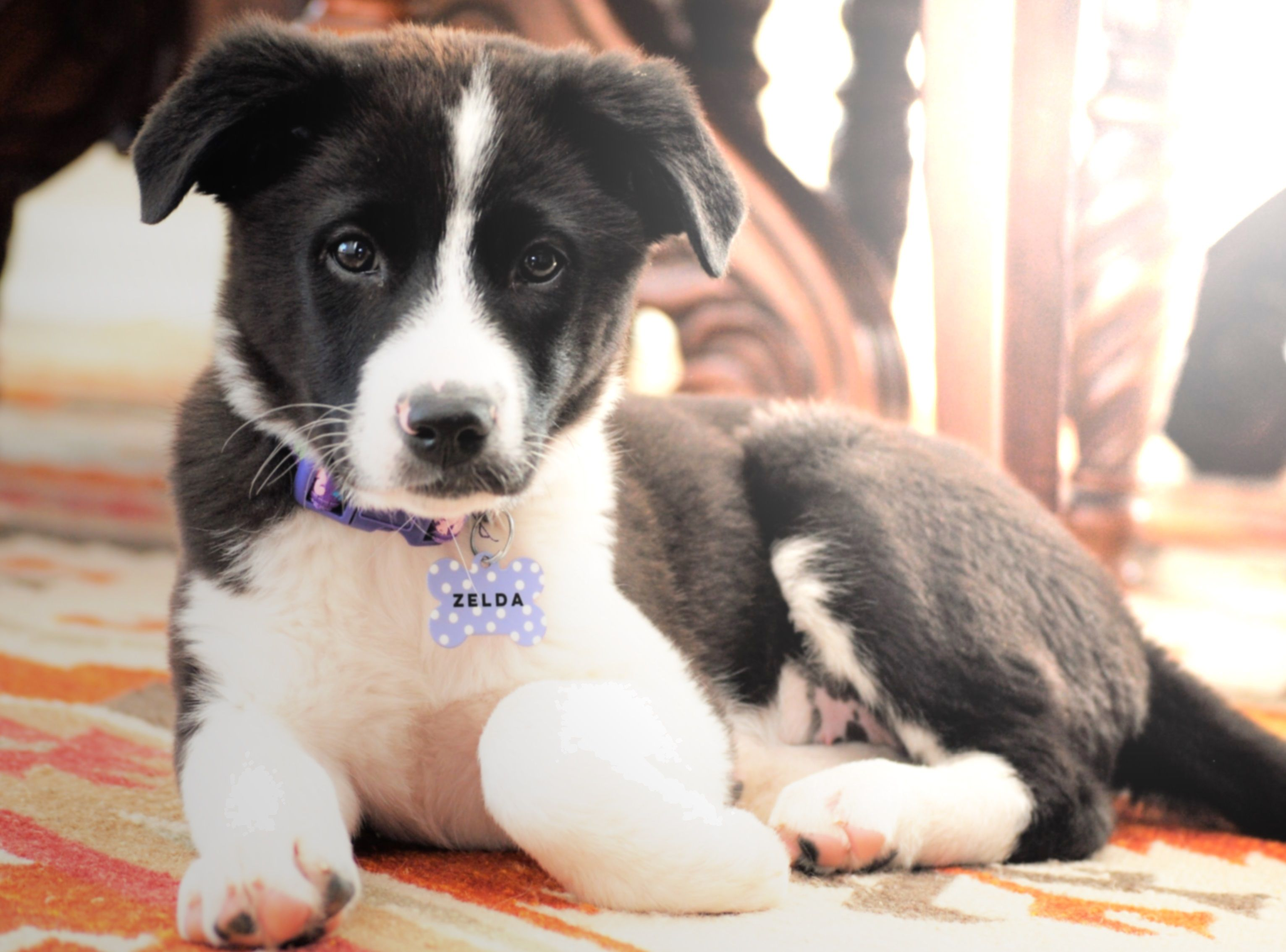 Zelda The Border Collie Boxer German Shepherd Lab Mix Puppy Lab Mix Puppies New Puppy Puppies