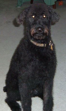 irish troodle irish terrier poodle hybrid dogs irish troodles rh pinterest com