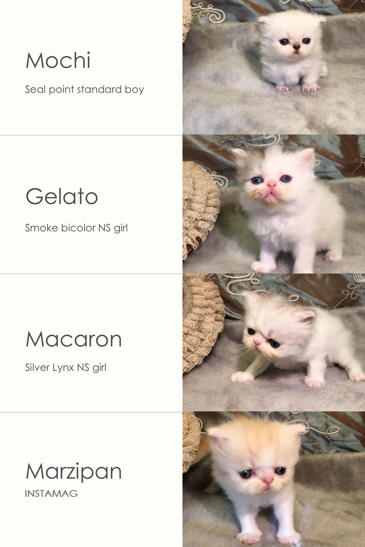 Napoleon Minuet kittens for sale Napoleon Minuets are from
