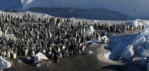 In der Antarktis leben mehr Pinguine als vermutet: An der Küste des Kontinents haben französische Wissenschaftler zwei neue Populationen von Kaiserpinguinen entdeckt. Sie waren zum Brüten an Land gekommen.