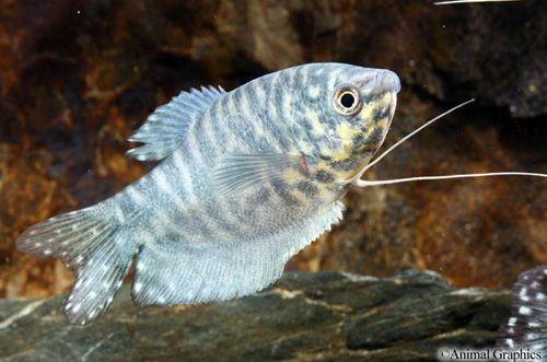 Opaline Gourami Fish Tank Plants Aquarium Fish Aquarium Fish Tank