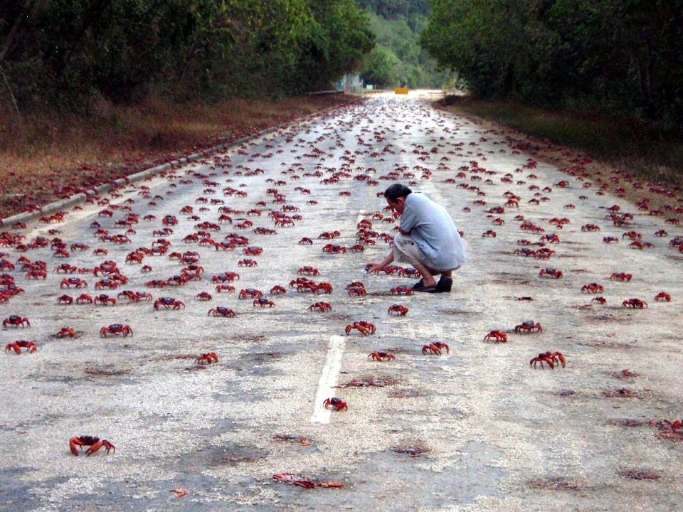 migration of red crabs christmas island australia the island is particularly known for
