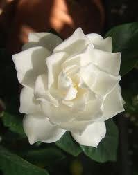 Gardenia Google Search Flowers Flower Essences Beautiful Flowers