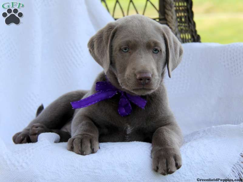 Angel silver lab puppy for sale in gap pa puppies for