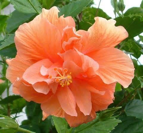 Hibiscus flower - Telugu Name - Mandaram photo gallery | Hibiscus