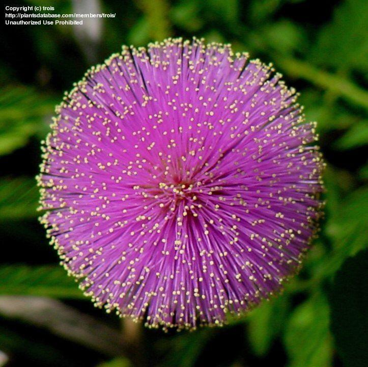Full Size Picture Of Sunshine Mimosa Powderpuff