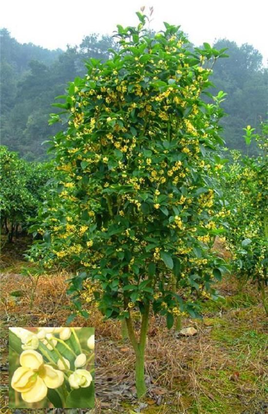Sweet Olive, Fragrant Tea Olive (Osmanthus fragrans) Mature: 10ft 3 ...