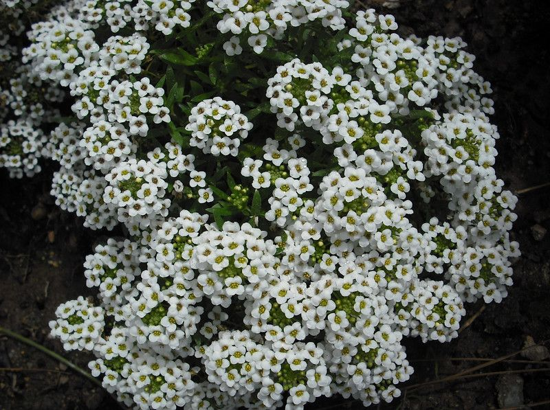 Sweet white carpet alyssum is a ubiqitious part of life around sweet white carpet alyssum is a ubiqitious part of life around southern california bungalows yes it grows well in many states but only in california have mightylinksfo