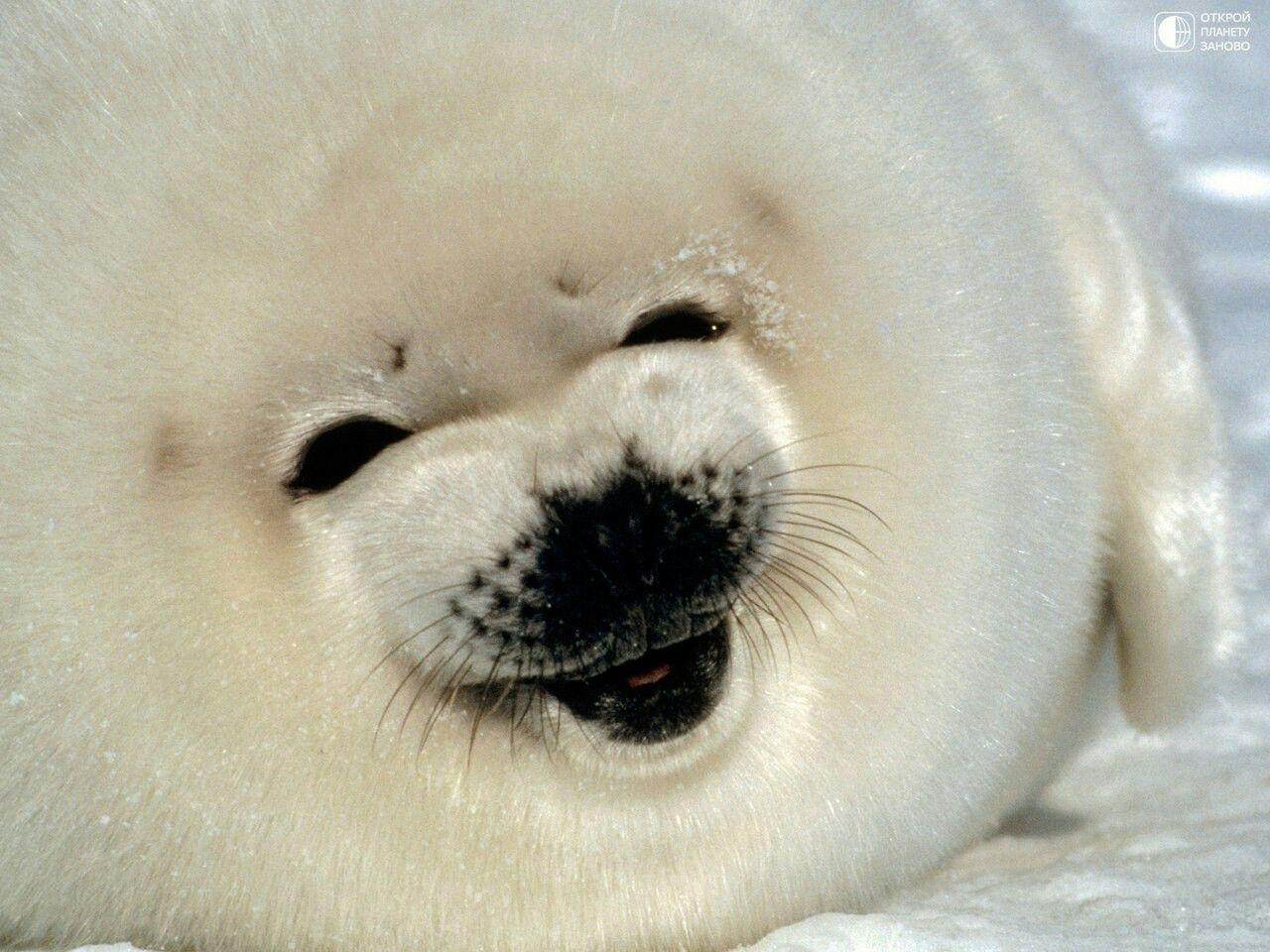 Happy seal | Cute seals, Harp seal, Seal pup