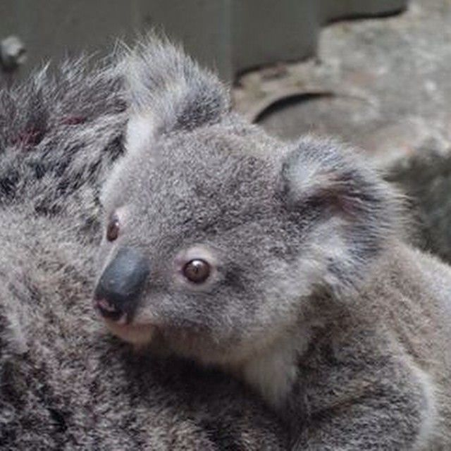 To make up for the lack of updates - a baby koala #goldcoast #photography…