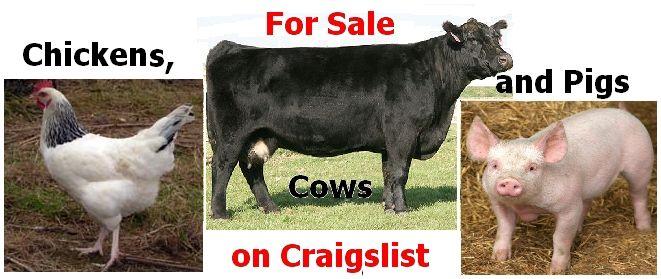 Bulls, Cows, Heifers, and Calves For Sale on Craigslist