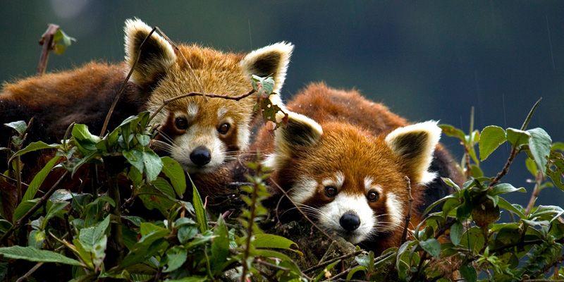 Katzenbär, Feuerfuchs oder Roter Panda wird er genannt. Allerdings hat er weder viel mit Füchsen noch mit den schwarz-weißen Namensvettern gemeinsam.
