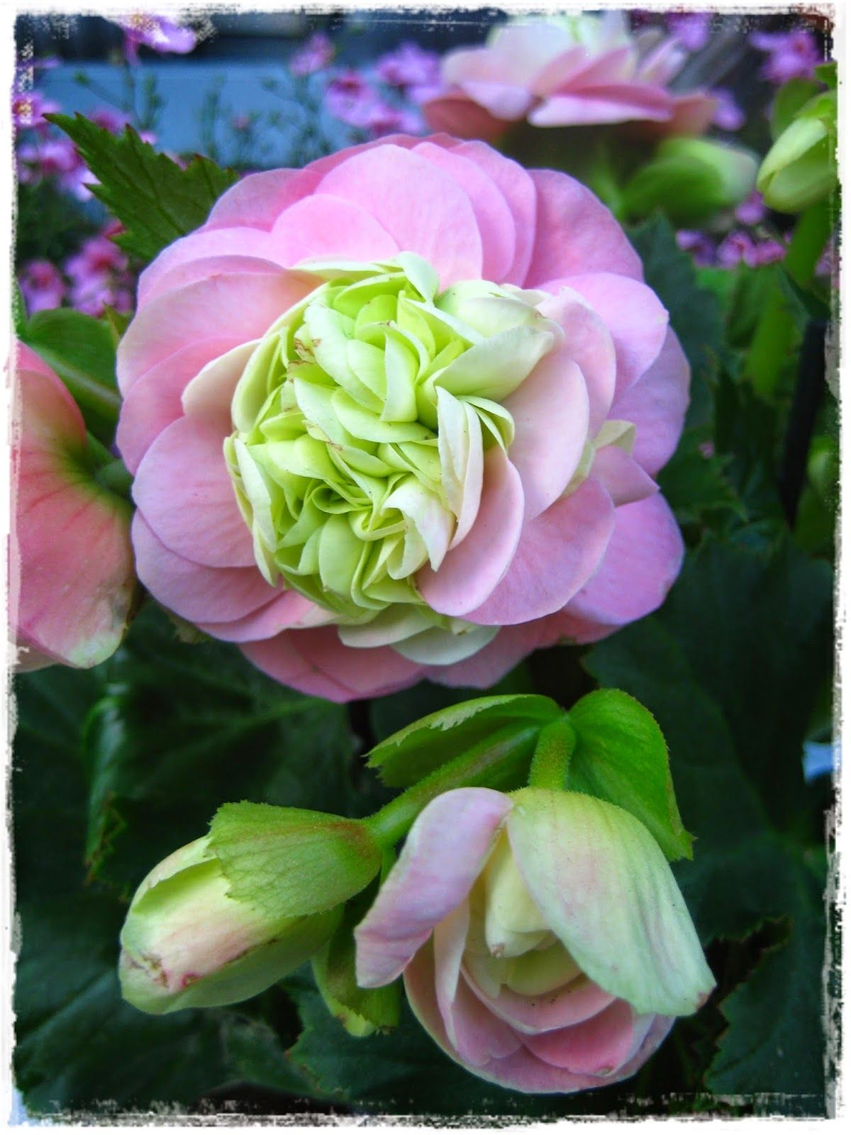 Tuijan koti ja puutarha; ruusubegonia