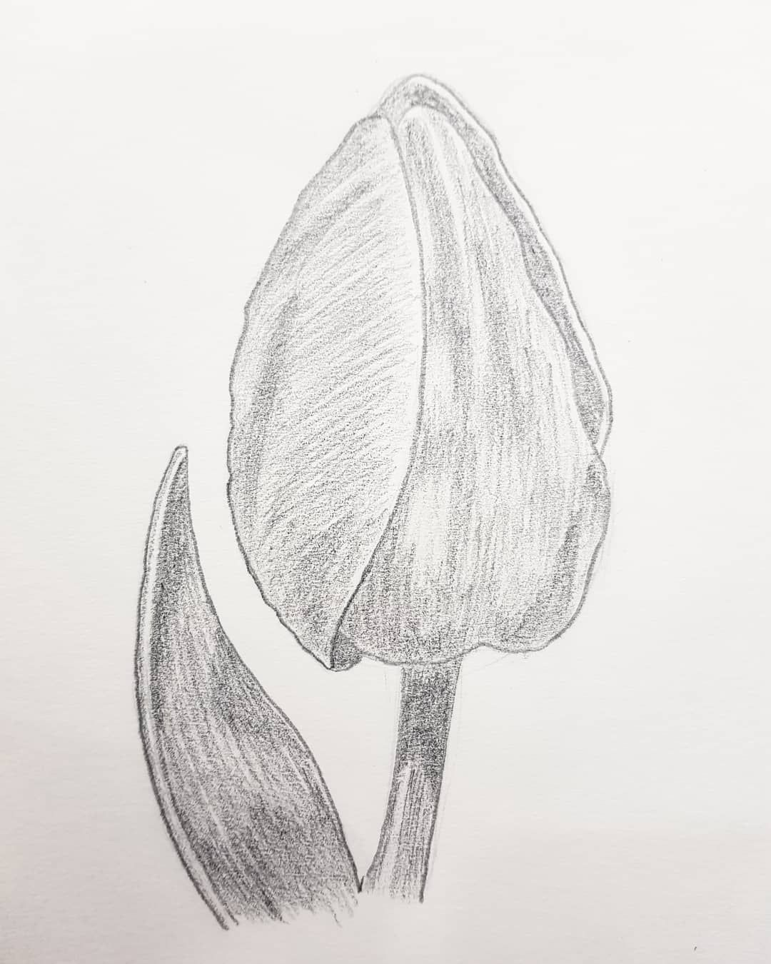 My first pencil works pencil drawing tulip flower bud