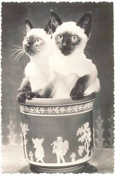 Vintage Siamese Cat Photo Siamese Cats Cats Cats And Kittens
