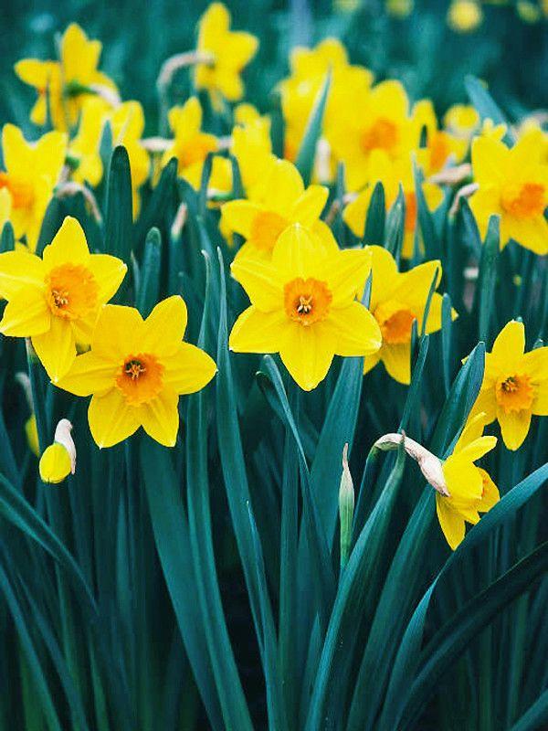 Narcissus Ceylon Vigorous Showy Daffodil Poisonous Plants Plants Planting Flowers