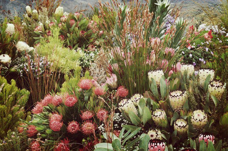 Image Result For Kirstenbosch Protea Garden Fynbos Garden Plants