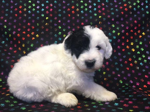 Litter Of 5 Australian Shepherd Poodle Miniature Mix Puppies For Sale In Nunn Co Adn 27894 On Puppyf Australian Shepherd Miniature Puppies Puppies For Sale