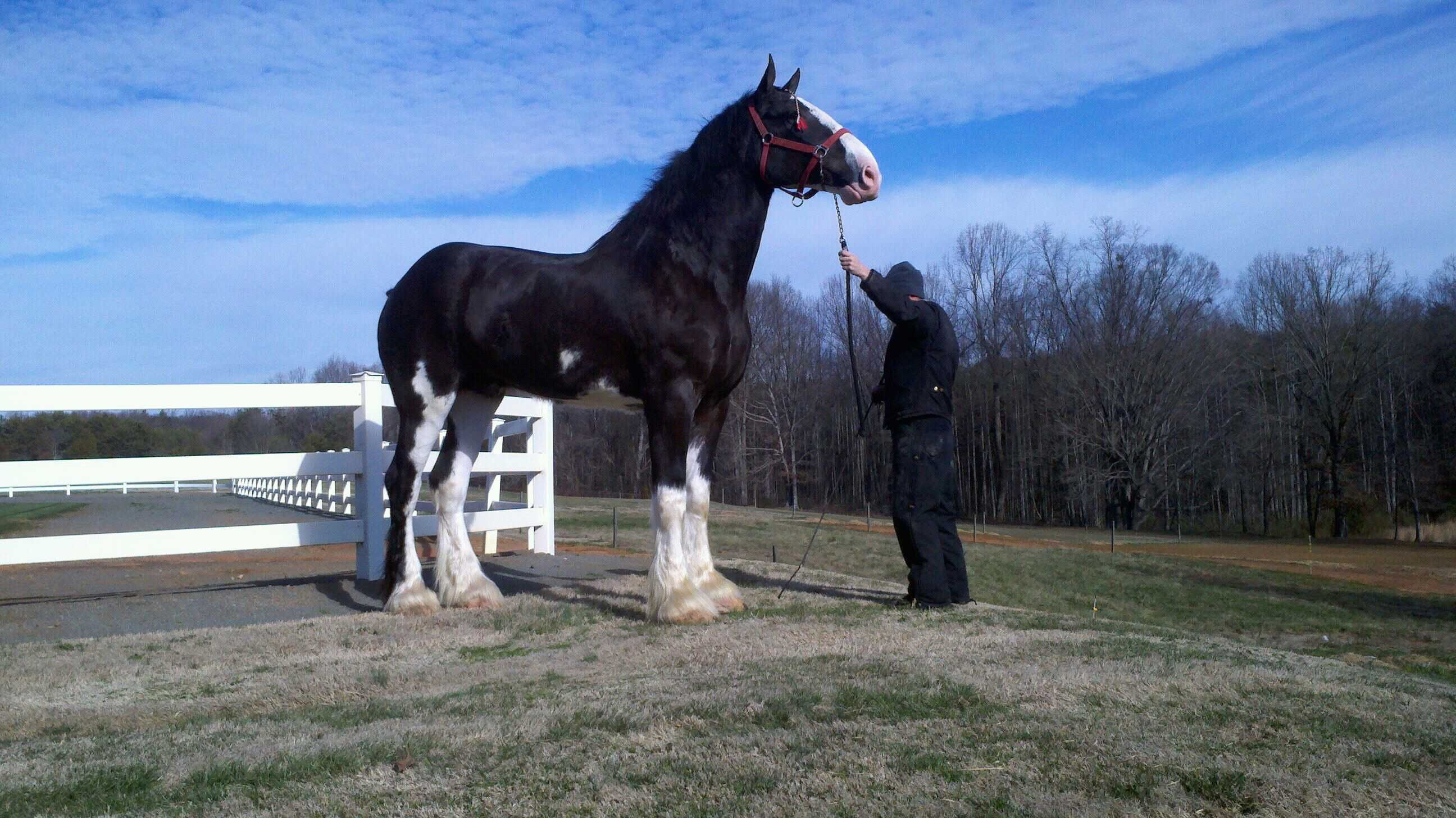 clydesdale stallion | Black Clydesdale Stallion For Sale ...