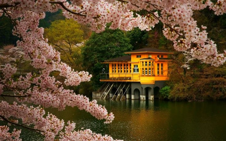 Cherry Blossom Trees Spring Lake Flowers Japan Nature Landscape Pink Gold Green Hd Wallpaper Desktop Background Spring Lake Landscape Plant Wallpaper