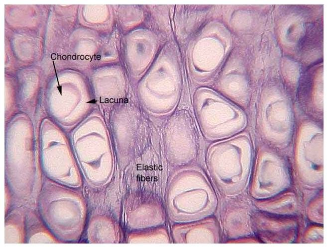 Elastic Cartilage Google Search Histologia Anatomia Tejidos
