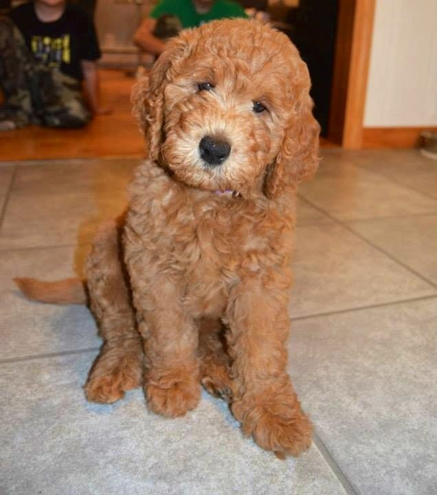 Medium F1b Goldendoodle At 8 Weeks This Is What Wrigley Is