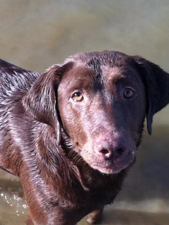 Adopt Lola On Labrador Dog Labrador Retriever Chocolate Labrador