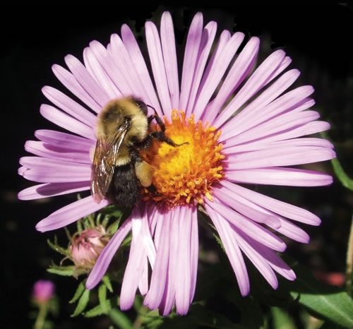A Worker Bumblebee On An Aster Flower Bumble Bee Bee Bee Keeping