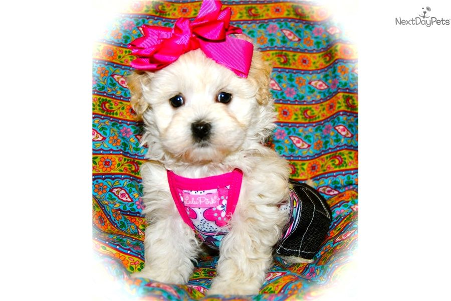You'll love this Female Malti Poo Maltipoo puppy looking
