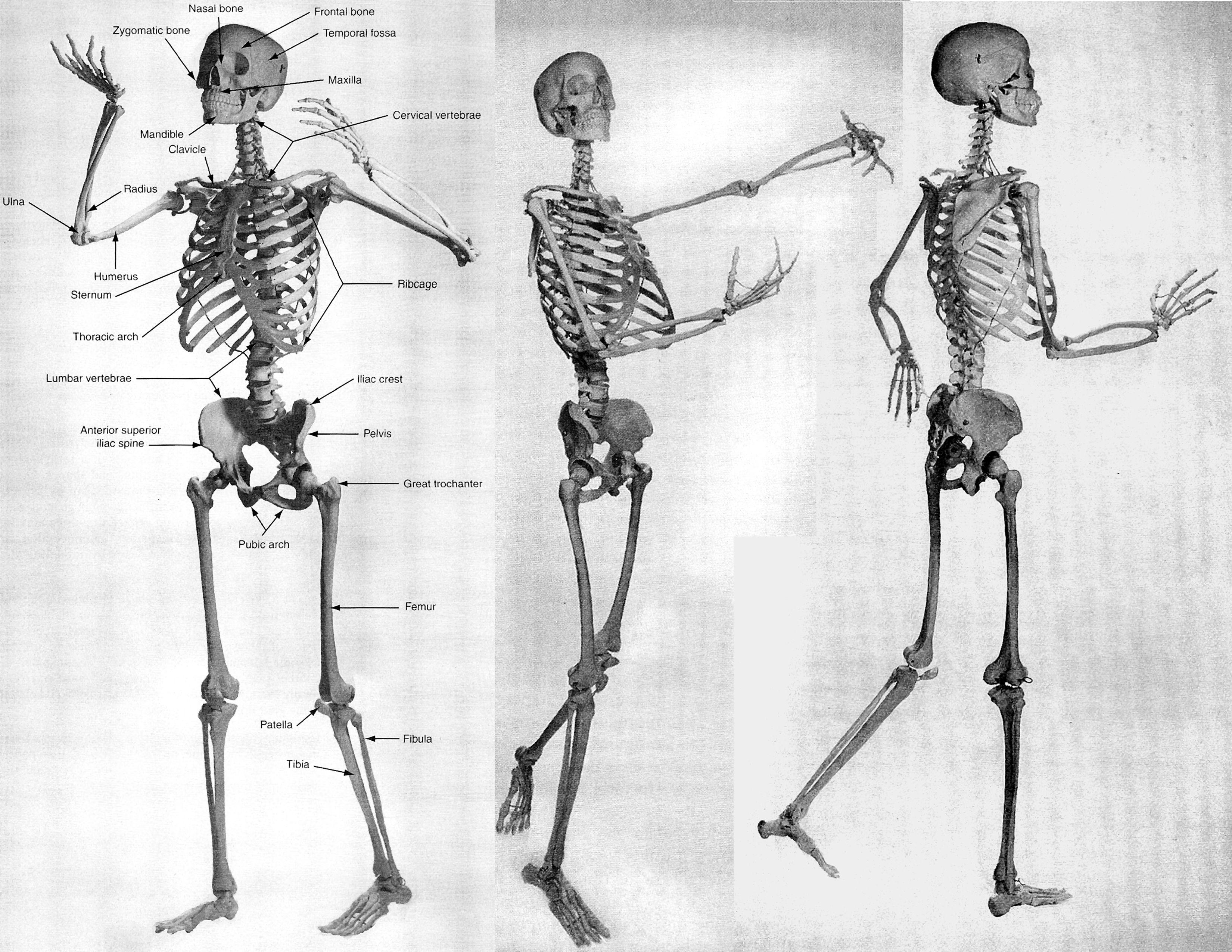 medium resolution of full skeleton diagram jpg 3300 2550 skeleton system human