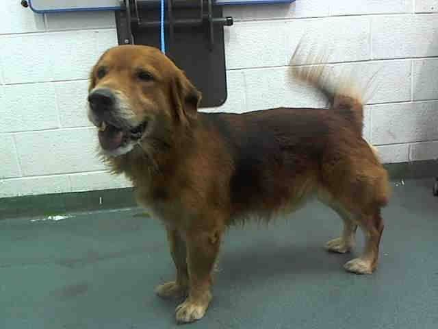 Kuko A1645944 I Am A Male Tri Color Terrier Golden Mix The Shelter Staff Think I M About 3 Yrs Old I Was Found As A S American Animals Poor Dog Animals
