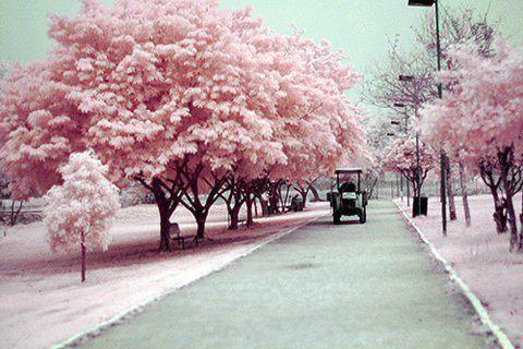 Invierno rosa
