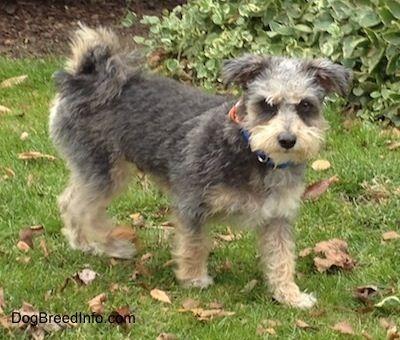 Yorktese Yorkteses Morkies Malkies Morkie Puppies Morkie Puppies For Sale Hybrid Dogs