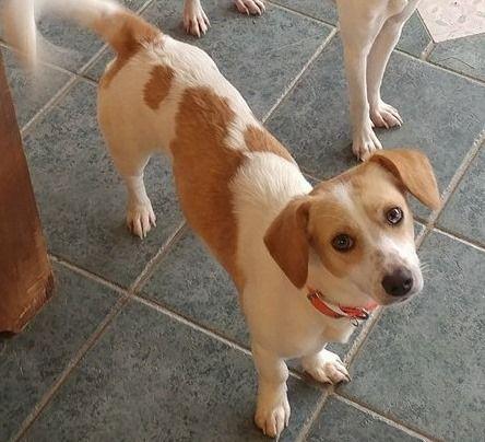 Beagle Rescue Of Southern Maryland Beagle Rescue Beagle Rescue