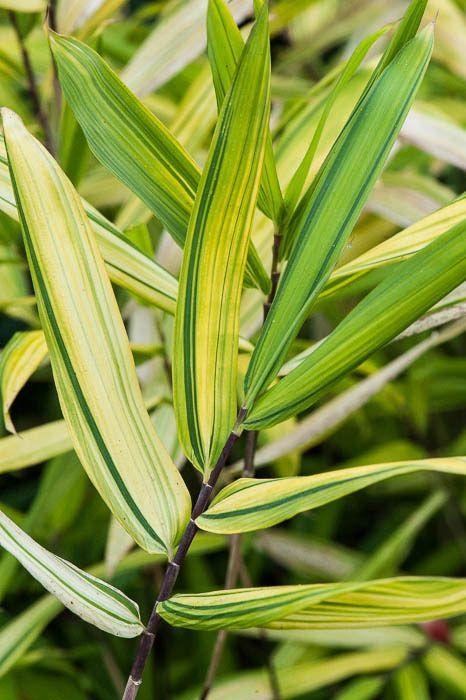 Pleioblastus viridistriatus   (bamboo)